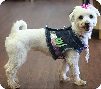 Maltese Dog for adoption in Mooy, Alabama - Candace