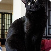 Adopt A Pet :: Mr. Kitty - Columbia, MD