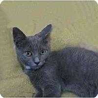 Adopt A Pet :: Abra - The Colony, TX