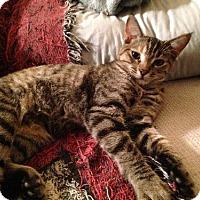 Adopt A Pet :: Yin - Phoenix, AZ