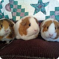 Adopt A Pet :: Lucy, Ethel and Rachel - San Antonio, TX