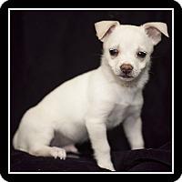 Adopt A Pet :: Hugo - San Diego, CA