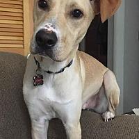 Labrador Retriever/Whippet Mix Dog for adoption in Savannah, Georgia - Loxley