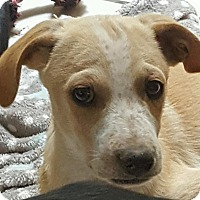 Adopt A Pet :: Karl - Las Cruces, NM