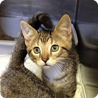Adopt A Pet :: H-7 tabby male - Triadelphia, WV