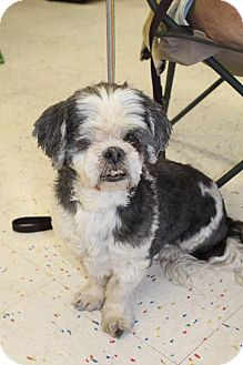 Shih Tzu Mix Dog for adoption in Hurricane, Utah - GOONIE