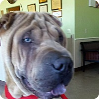 Shar Pei Dog for adoption in Mira Loma, California - Ace