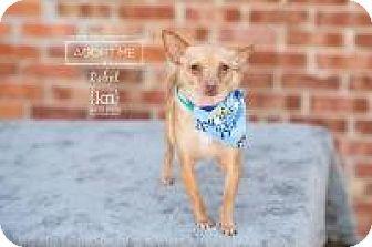 Chihuahua Mix Dog for adoption in Shawnee Mission, Kansas - Rebel