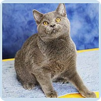 Domestic Shorthair Kitten for adoption in South Bend, Indiana - Jolteon