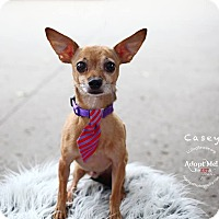 Adopt A Pet :: Casey - Shawnee Mission, KS