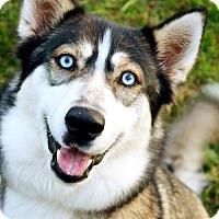 Adopt A Pet :: Ziva - Roswell, GA