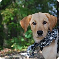 Adopt A Pet :: Josie - New Castle, PA