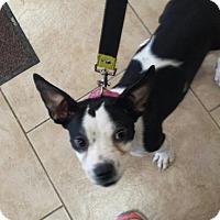Adopt A Pet :: Eve - Warren, MI