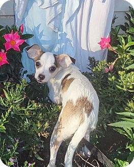 Rat Terrier Mix Puppy for adoption in West Chicago, Illinois - LaFaye