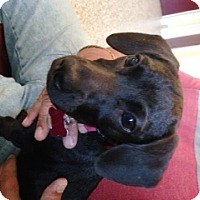 Adopt A Pet :: Izzie - Roxboro, NC