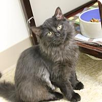 Domestic Mediumhair Cat for adoption in Medina, Ohio - Minnow