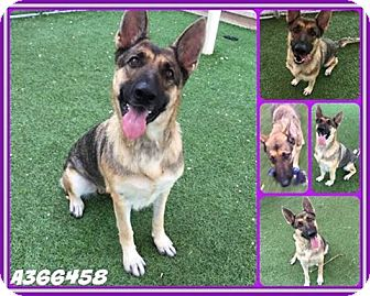 German Shepherd Dog Dog for adoption in SAN ANTONIO, Texas - IRIS