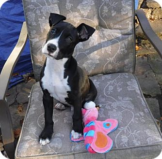 Jack Russell Terrier/American Bulldog Mix Puppy for adoption in Hockessin, Delaware - Hayden