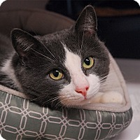 Domestic Shorthair Cat for adoption in Winchendon, Massachusetts - Rudy