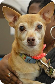 Chihuahua Mix Dog for adoption in Toledo, Ohio - Bosco