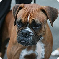 Adopt A Pet :: Suzy - Canoga Park, CA