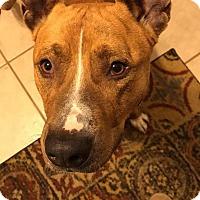 Adopt A Pet :: WHISKEY - Williamsburg, VA