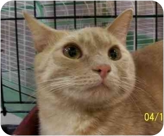 Domestic Mediumhair Cat for adoption in Chattanooga, Tennessee - Noah
