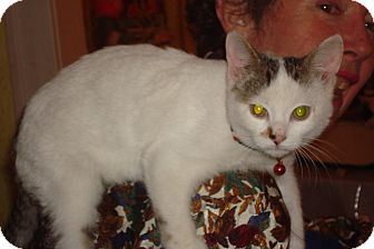 Domestic Shorthair Kitten for adoption in Brooklyn, New York - Kip