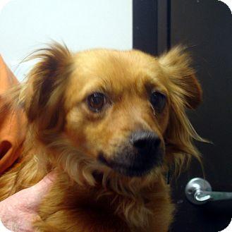 Spaniel (Unknown Type)/Dachshund Mix Dog for adoption in baltimore, Maryland - Runaway