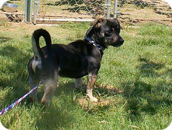 Chihuahua Mix Dog for adoption in Yuba City, California - 04/09 Banjo