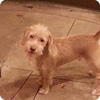 Adopt A Pet :: Rags - Brattleboro, VT