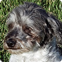 Adopt A Pet :: Domino - La Costa, CA