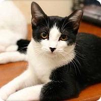 Adopt A Pet :: Figaro - San Antonio, TX
