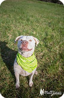 American Pit Bull Terrier/Labrador Retriever Mix Dog for adoption in Portland, Oregon - Kane