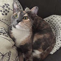 Domestic Shorthair Cat for adoption in Los Angeles, California - Lilybelle
