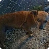 Adopt A Pet :: Chica - Quinlan, TX