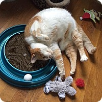 Domestic Shorthair Cat for adoption in Jersey City, New Jersey - Peanut