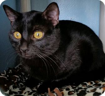 Domestic Shorthair Cat for adoption in Hazel Park, Michigan - Three Brothers