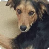 Adopt A Pet :: Giselle - Las Vegas, NV