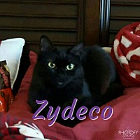 Domestic Shorthair Cat for adoption in Garner, North Carolina - Zydeco