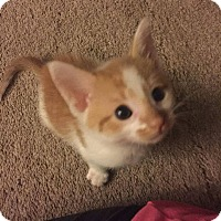 Domestic Shorthair Kitten for adoption in Rockford, Illinois - Oliver
