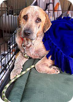 St. Bernard/Golden Retriever Mix Dog for adoption in Boerne, Texas - Charles