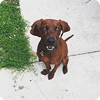 Hound (Unknown Type) Mix Dog for adoption in Fairfax Station, Virginia - Scouts