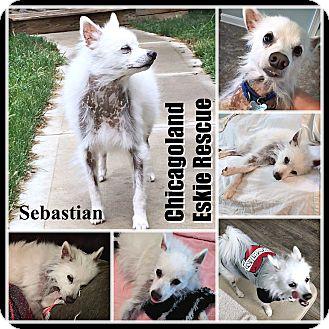 American Eskimo Dog Dog for adoption in Elmhurst, Illinois - Sebastian