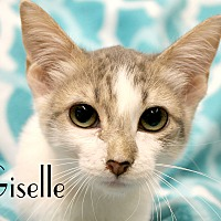 Domestic Shorthair Kitten for adoption in Wichita Falls, Texas - Giselle
