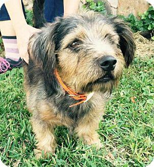 Australian Terrier Mix Dog for adoption in Waldron, Arkansas - YORK BARKLEY