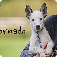 Adopt A Pet :: Tornado - Joliet, IL