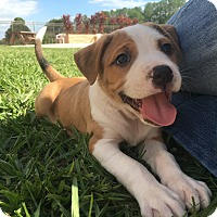 Border Collie/American Bulldog Mix Puppy for adoption in Myakka City, Florida - Violet