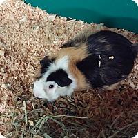 Adopt A Pet :: Jinx - Aurora, CO