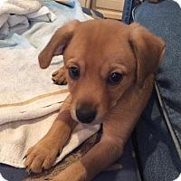 Adopt A Pet :: Cinnamon - Island Heights, NJ